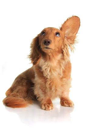 Little dog listening